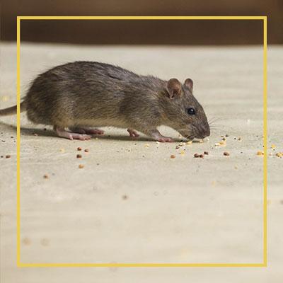 Como Evitar a Proliferação de Ratos?